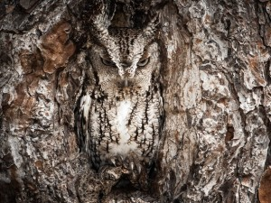 The Eastern screech owl.